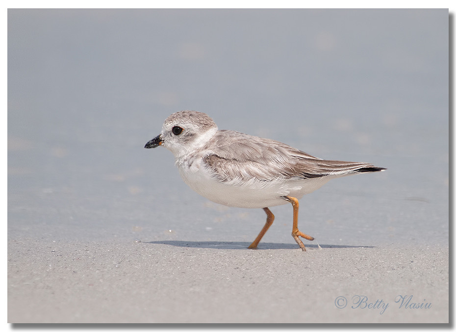 piping plover research paper Most piping plover research has focused on the breeding season in an attempt to directly influence population numbers, however this study argues that efforts are required throughout the year in.