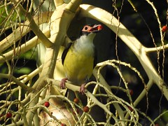 Fig Bird (Mama Shaz) Tags: birds fig australianwildlife northqueensland nikonp900
