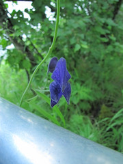 SoldotnaKenai13 (alicia.garbelman) Tags: alaska soldotna plants wildflowers monkshood