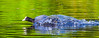 Bow-wave (Steve-h) Tags: nature natur natura naturaleza bird coot water bowwave splash waterdrops drops reflections swim swimming swimmer aquaticbird wildlife wildfowl black white green blue colour colours ripples lake pond bushypark park dublin ireland europe action movement speed spring apil 2016 canon camera telephoto zoom lens ef eos 100400mm steveh sparkling eye allrightsreserved