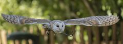Lechuza comn (Tyto alba) (jsnchezyage) Tags: lechuzacomn tytoalba ave pjaro rapaz fauna naturaleza birding bird vuelo falconry cetrera