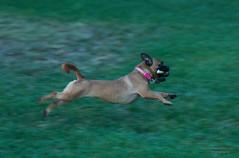 Flying pup (bcr160) Tags: pug dog running flying grass chew nikon d7100 nikkor 70200 bcr160 kl0