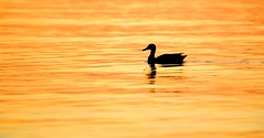 Duck in Gold (imageClear) Tags: silhouette gold duck mallard beauty color one lone water lake lakemichigan aperture nature nikon d600 80400mm imageclear flickr photostream