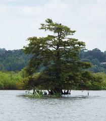 5 River Delta Alabama (101) (Stonehenge 68) Tags: 5riversdelta mobile delta wildlife alligator duck pelican water waterhyacinth hemlock snowyegret alabama