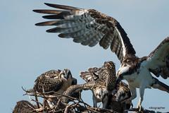 MD Osprey (Nikographer [Jon]) Tags: mdosprey maryland md chick chicks 20160714d500012859 nikon d500 600mm f4 nest