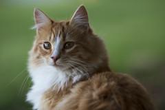 Rowdy1 (TaylorB90) Tags: taylorbennett cat cats kitties kittens cute fluffly canon 5d3 70200 7200 28 is ii orange