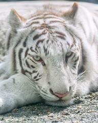 Apollo  - What? (Harimau Kayu (AKA Sumatra-Tiger)) Tags: apollo tiger zoo animal bigcat bigcats feline bengaltiger pantheratigristigris knigstiger indischertiger eltigredebengala tigredubengale latigrerealedelbengala   whitetiger weisertiger tigreblanco tigreblancroyal   zooshot tobu tobuzoo snowwhite mirrormirror babytiger baby kid keddo