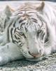 Apollo ♂ - What? (Harimau Kayu (AKA Sumatra-Tiger)) Tags: apollo tiger zoo animal bigcat bigcats feline bengaltiger pantheratigristigris königstiger indischertiger eltigredebengala tigredubengale latigrerealedelbengala бенгальскийтигр 孟加拉虎 whitetiger weisertiger tigreblanco tigreblancroyal белыйтигр 孟加拉白虎 zooshot tobu tobuzoo snowwhite mirrormirror babytiger baby kid keddo