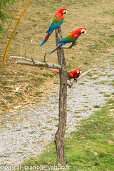DSC_2311 (Pascal Gianoli) Tags: perroquet beauval bird oiseau parrot zoo zooparc saintaignansurcher centrevaldeloire france fr pascal gianoli pascalgianoli