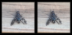 Xenox Tigrinus, Tiger Bee Fly on Gate 1 - Crosseye 3D (DarkOnus) Tags: mate8 buckscounty cell closeup darkonus huawei pennsylvania phone tiger bee fly xenox tigrinus gate stereogram stereography stereo 3d flydayfriday day friday hfdf fdf crossview crosseye