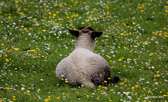 Are you ignoring me ? (mootzie) Tags: lamb grass green croft buttercups yellow cute ignoring harris outer hebrides