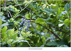 Late Blooming (Sherwood Harrington) Tags: fortharrington wisteria blossom bloom