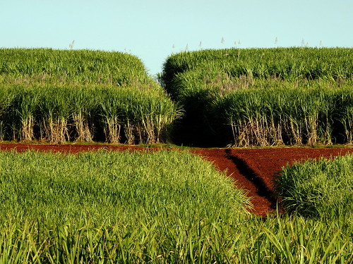 Cane fields at Childers