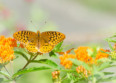 Great Spangled Fritillary on Butterfly Weed (hickamorehackamore) Tags: 2016 asclepias asclepiastuberosa butterflyweed ct connecticut fritillary greatspangledfritillary haddam nwf backyard butterfly certified habitat milkweed native summer wildlife