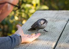 Bird whisperer (frostnip907) Tags: bird wildlife alaska nature daltonhighway birds arctic greyjay camprobber