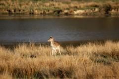 Faon de daim (Passion Animaux & Photos) Tags: daim faon fallow deer fawn parc animalier saintecroix france