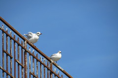 Les mouettes (BrigitteChanson) Tags: mouettes gabbiani gaviotas gulls barrire fence
