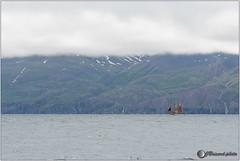 Skjlfandi Bay (jboisard.photo) Tags: iceland islande gentlegiants whale whalewatching baleine humpback macareux north nord mer sea afsnikkor70200f28gvrii gentlegiantswhalewatching nikon d500 nikoniste iamnikon wildlife nature jboisardphoto jrmeboisard wwwfacebookcomjboisardphoto wwwjboisardphotojimdocom