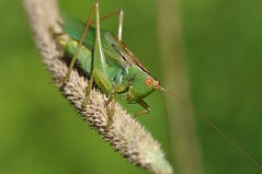 up close (ladybugdiscovery) Tags: katydid insect sing meadow macro green orange