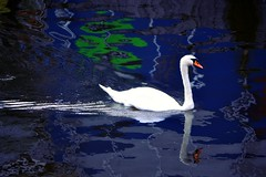 In the Blue (Clare-White) Tags: swan reflection blue water white canal