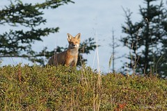 Renard roux / Vulpes vulpes / Red Fox (Laval Roy) Tags: leauxbasques bassaintlaurent omnivores mammifres mammals canids renardroux vulpesvulpes redfox lavalroy eos7d ef300mm14lisextender14xiii canon quebec