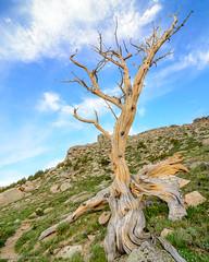 Pedestal (jaovandelagemaat) Tags: trees sun landscape tree northamerica sunrise bristleconepine colorado mtevans mtgoliath unitedstates mountains clouds mountain usa