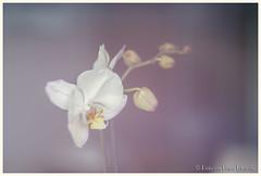Experimental orchid (PvRFotografie) Tags: nederland holland rotterdam flower flowers orchid orchidee bloem bloemen nature natuur expirimental slideprojectorlens carlzeiss psonnartf2590mm nikond600