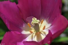 Tulip (Emily Starbug Photography) Tags: flower macro tulip tamron90mm canon70d emilystarbug