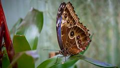 Great Butterfly (Delbrücker) Tags: macro animal butterfly insect falter makro insekt tier schmetterling nikkor105mm nikond610