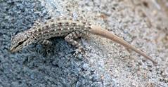 Scouting (gordontour) Tags: wildlife uae lizard environment rak unitedarabemirates rasalkhaimah