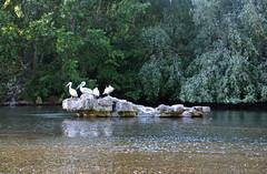 St James's Park (DncnH) Tags: park lake reflection london westminster pelican stjamesspark