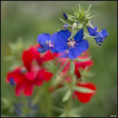 Fleur (Daenelyn) Tags: france fleur chinon indreetloire smcpentaxm50mmf17 pentaxk5