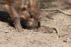 IMG_2942 (dirk.donnerstag) Tags: canon eos tamron 70200 wildschwein wildpark frischling 70d reken frankenhof