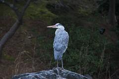 / Gray Heron (kimtetsu) Tags: bird japan kyoto   grayheron   wildbird