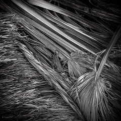 Fallen Palm Fronds (Royer_Dirt) Tags: bw film palms blackwhite desert anzaborrego mamiya645 fujifim mountainpalmsprings anzaborrregostatepark