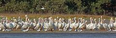 American White Pelican, Bahia la Ventosa, Oaxaca, Mexico (Terathopius) Tags: mexico oaxaca americanwhitepelican pelecanuserythrorhynchos bahialaventosa