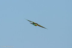 Gruccione al volo. Bee-Eater on the fly. Meros Apiaster (omar.flumignan) Tags: bird canon island eos natural ngc reserve 7d birdwatching isola uccello beeeater naturale cona riserva ef100400f4556lisusm grucione allnaturesparadise merosapiaster ontheflyalvolo