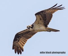 Osprey yelling at photographer NJ shore (Mike Black photography) Tags: new sky black bird mike heron nature animal canon lens big body year birding nj july shore jersey osprey 2016