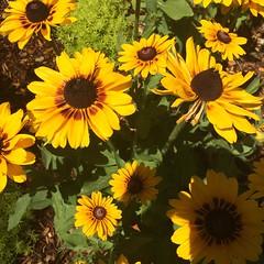 Rudbeckia (plantypics) Tags: yellow gardens garden botanical rudbeckia descanso