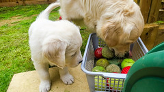 Charlie and Purdy (Mark Rainbird) Tags: uk england dog canon puppy unitedkingdom retriever charlie purdy powershots100 popeswood