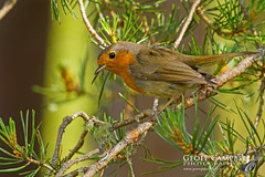Robin in the Pine Forest (Erithacus rubecula) (gcampbellphoto) Tags: bird nature robin forest scotland erithacusrubecula wildlife avian cairngorms scotspine gcampbellphoto