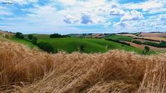 Spighe di grano al vento (BORGHY52) Tags: italy landscape nuvole estate campagna recanati marche paesaggio colline collina grano spighe collinemarchigiane spighedigrano campodigrano provinciadimacerata nuvolecomepensieri