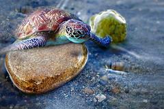 Migrante (Zz manipulation) Tags: art ambrosioni zzmanipulation mare sea onde sasso tartle tartaruga natura spiaggia onda