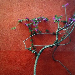 Naturalart (Helena de Riquer) Tags: plant planta flors flores flowers buganvillas bougainvillea bugambilia natura nature esbaulpetithotel canpicafort topf25 santamargalida mallorca illesbalears islasbaleares balearicislands 2016 helenaderiquer topf50 isolebaleari paret pared mur wall parete topf75 topf100 100faves plademallorca balearischeinseln interestingness maiorica sony sonydsch20 carlzeiss nationalgeographic lonelyplanet