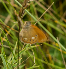 Eastern Large Heath butterfly (DigPeter) Tags: bulgaria butterfliesbrownsheaths butterflymoth easternlargeheath europe peterphoto dobrostan plovdiv