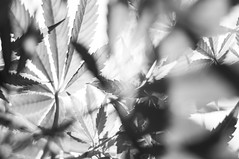 Weed (mion.danny) Tags: leafs weed 420