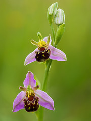Bee Orchid (Damian_Ward) Tags: orchid photography buckinghamshire bucks ophrysapifera beeorchid pitstone damianward damianward