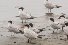 Caspian Tern (J.B. Churchill) Tags: birds ca cate california caspiantern gullsterns pillarpoint places sanmateo taxonomy halfmoonbay unitedstates us