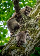 Raccoon Kits Three in a Tree (michaelbbateman) Tags: baby tree us newjersey unitedstates wildlife young kit raccoon kinnelon
