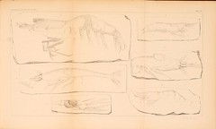 zeitschriftderd141862deut_0841 (kreidefossilien) Tags: schlter crustacea decapoda cenomanian cretaceous turonian santonian northrinewestphalia